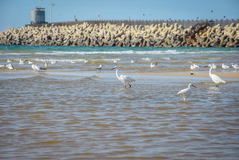 White Egret by the Sea, Sea Bird. Bird, water, nature royalty free stock photos