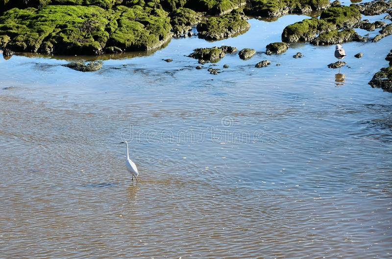 White egret on the shore of the river stock photos