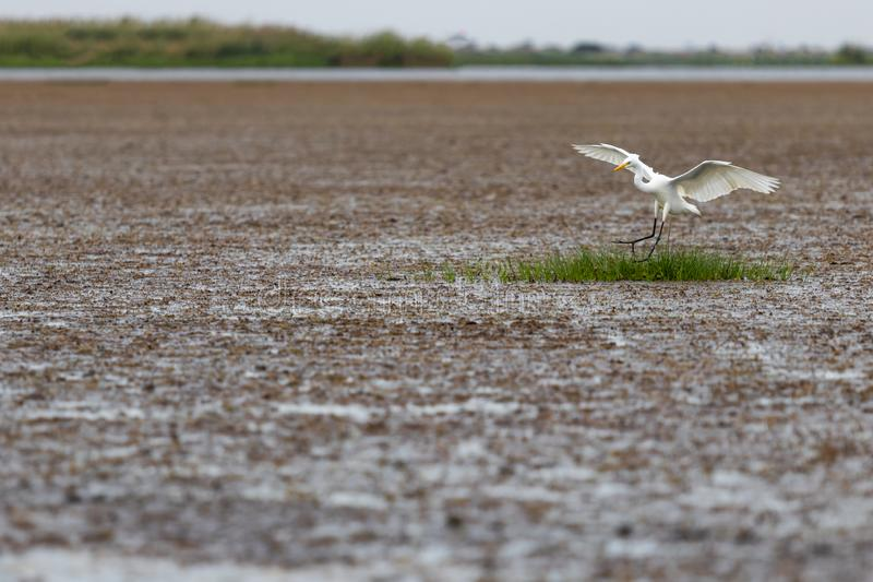 The white egret is sleek for the foods royalty free stock photography