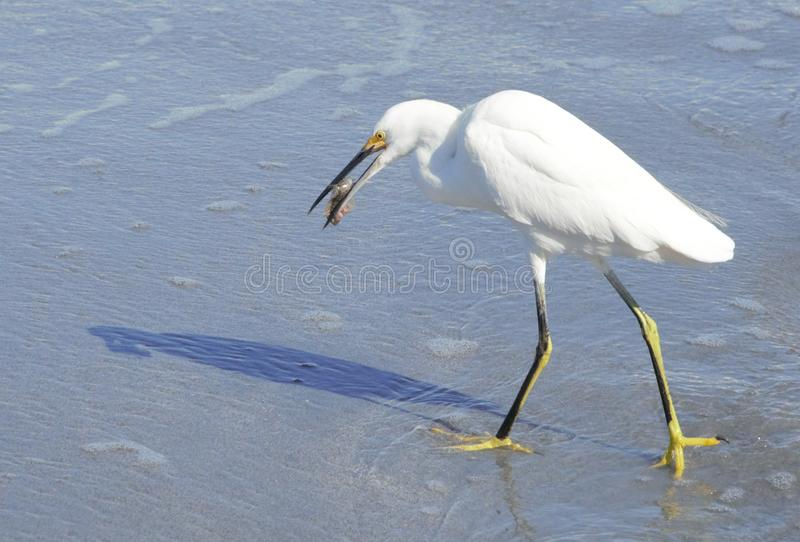 A White Egret Snatches Its Prey on Boca Beach. The White Egret is among many South Florida Seabirds that hunt the Boca Beach Shoreline royalty free stock photos