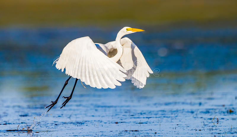 White egret takes flight with wings spread. Over water stock photography