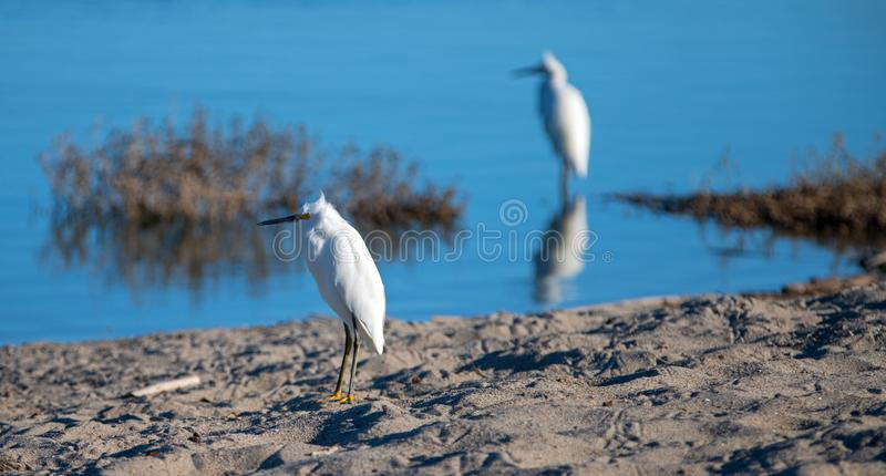 White Egrets reflecting in Santa Clara river at the McGrath State park reserve in Ventura California USA. White Egrets reflecting in Santa Clara river at the stock image
