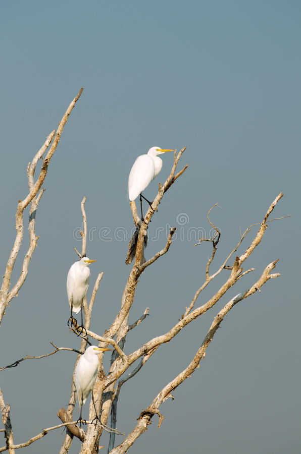 Download White Egrets stock photo. Image of branches, black, long - 32764542