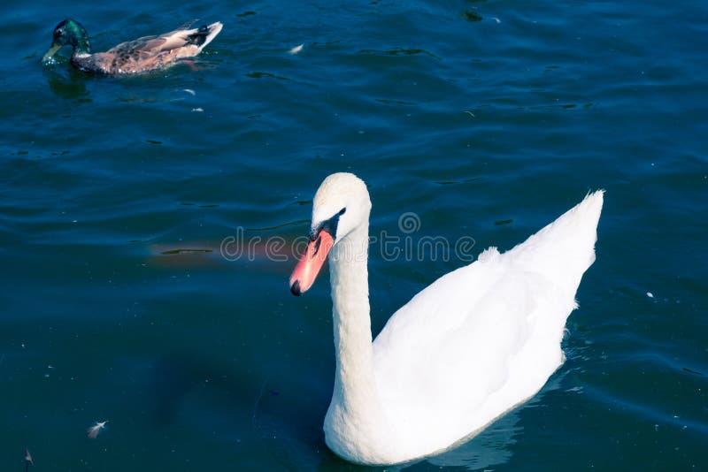 White elegant bird swan floating on pond water surface. White elegant bird swan on pond water surface royalty free stock photography