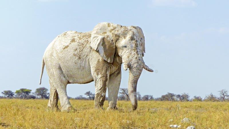 White elephant in Etosha. Elephant covered by white mud in Etosha National Park, Namibia stock photo