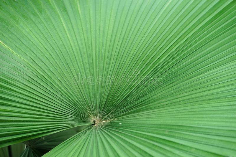 White elephant palm. A closed up texture pattern details of Kerriodoxa Elegans or commonly known as a white elephant palm.  stock images