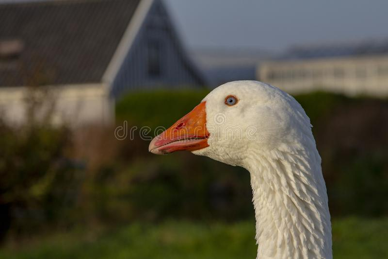 White Emden goose with orange beak stock photography