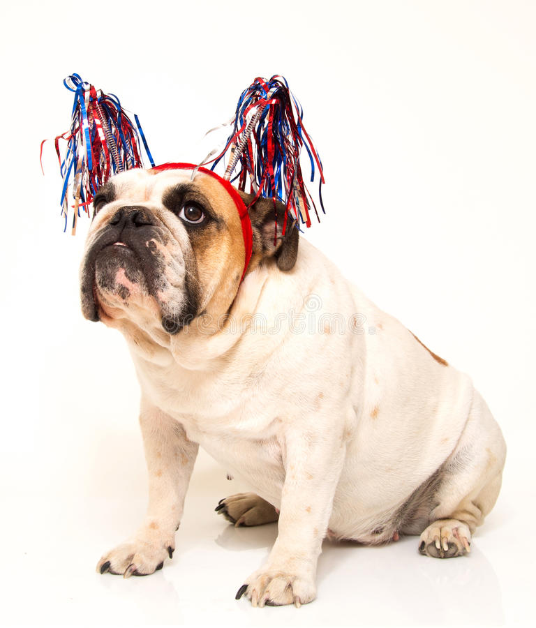 White English Bulldog dressed for 4th of July. A white English Bulldog with her streamer hat dressed for the holiday stock images
