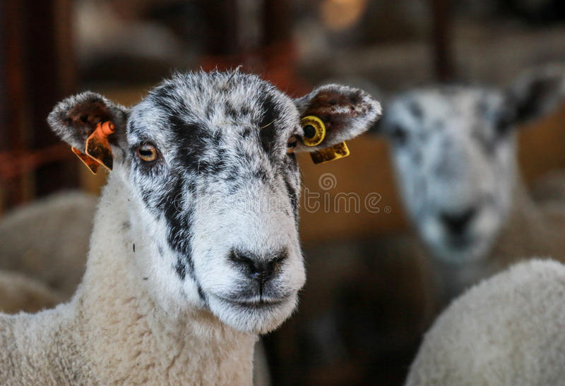 A white English sheep`s head. A white fluffy ewe sheep head with tagged ears royalty free stock photos