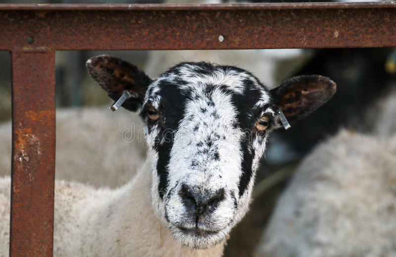 A white English sheep`s head. A white fluffy ewe sheep head with tagged ears stock image