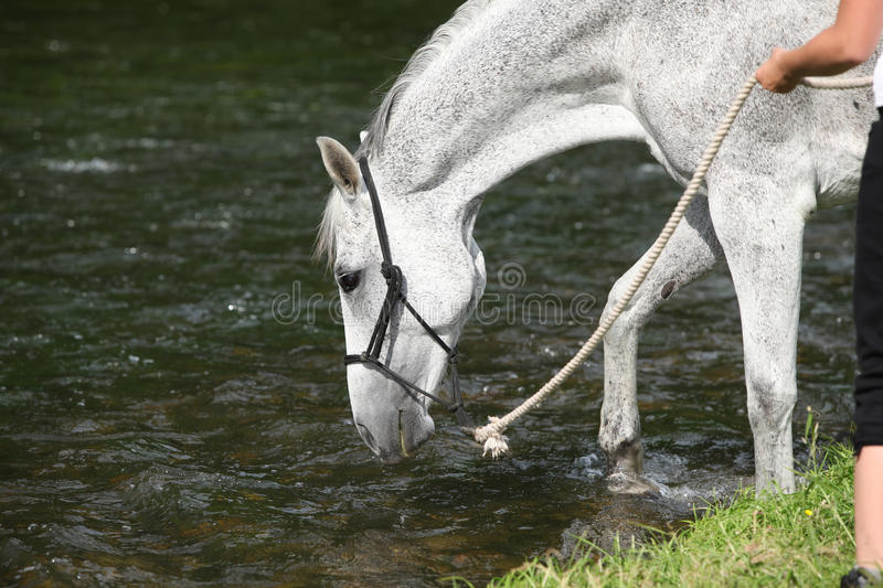 White English Thoroughbred horse in river stock photography