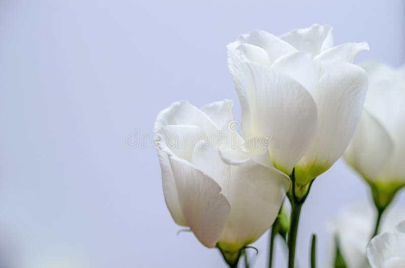 White eustoma flowers bouquet. Indoor blue background stock photos