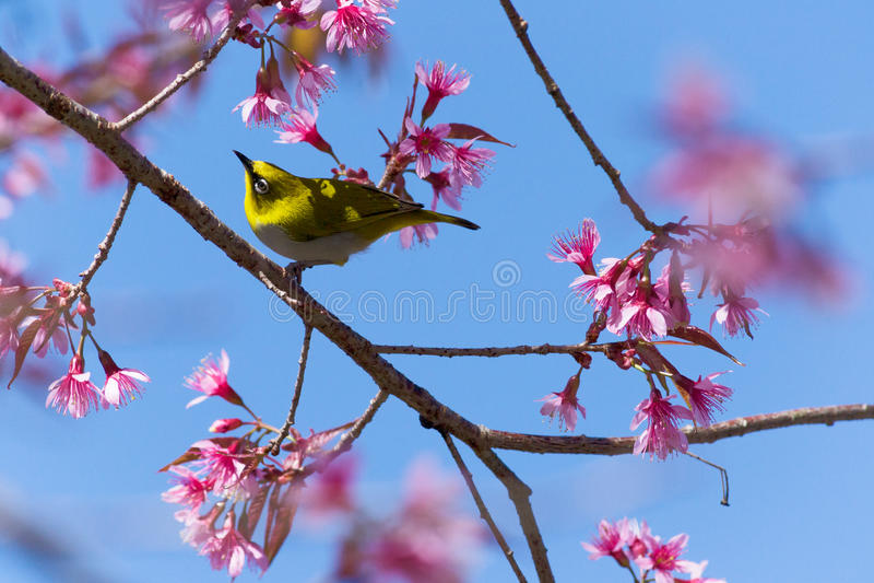 White-eye Bird on Cherry Blossom stock images