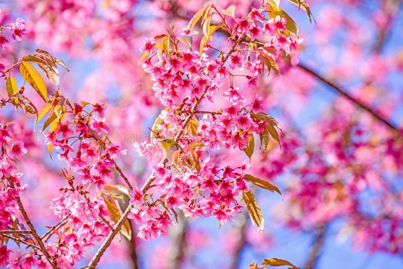 White-Eye Bird on Cherry Blossom and Sakura royalty free stock photo