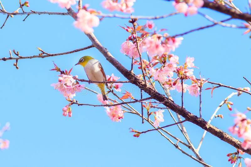 White-Eye Bird on Cherry Blossom and Sakura. stock images