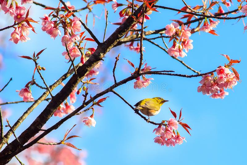 White-Eye Bird on Cherry Blossom and Sakura. stock image