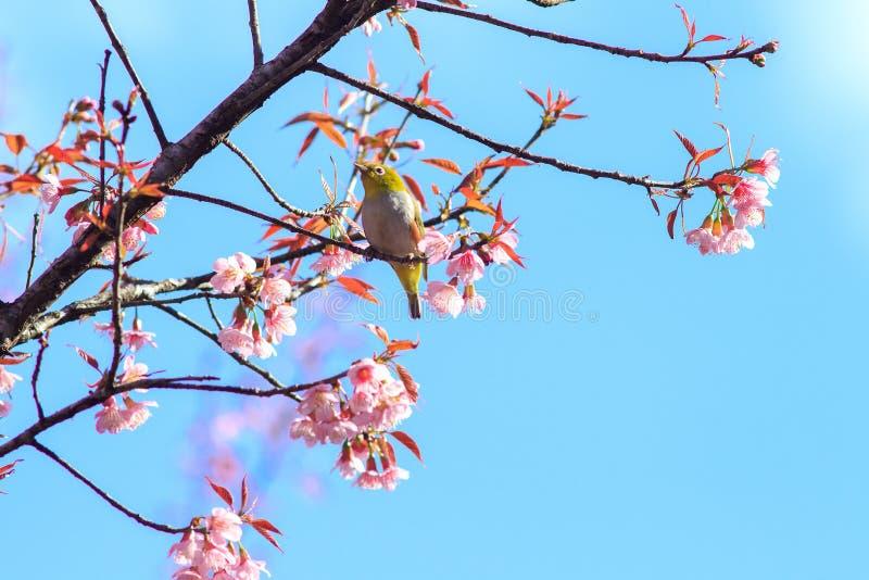 White-Eye Bird on Cherry Blossom and Sakura. royalty free stock photo