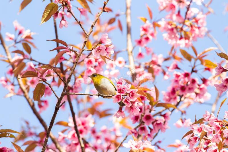 White-Eye Bird on Cherry Blossom and Sakura stock image
