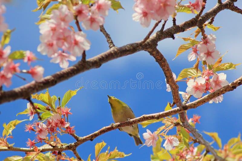 White-eye bird holding cherry blossom or sakura branch royalty free stock photo