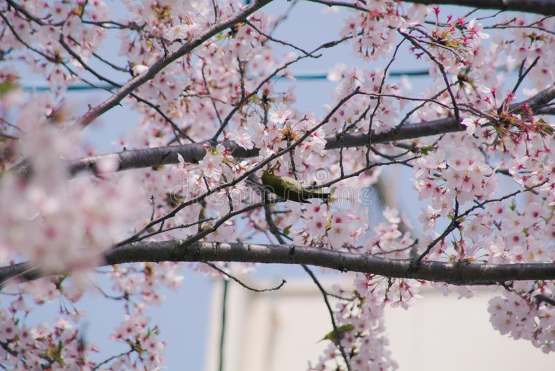 White eye bird locally known as mejiro on sakura cherry blossom tree. stock photo