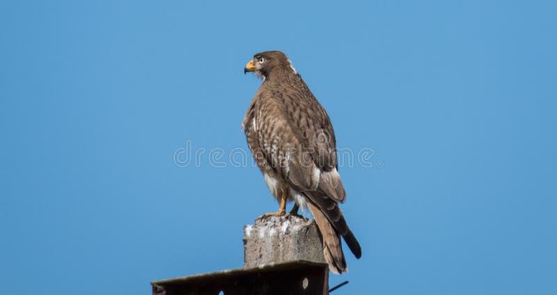 White-eyed buzzard bird sitting on high electricity pole. Indore-India royalty free stock image