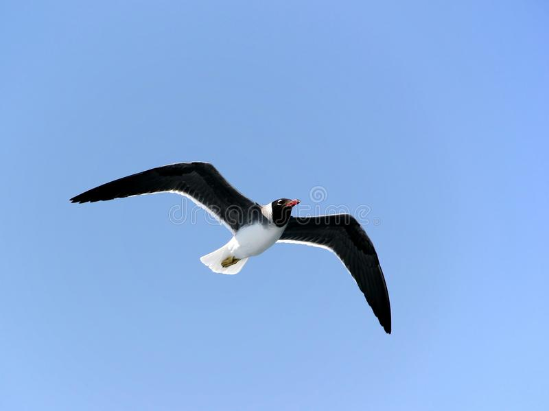 White-eyed gull in flight. Endangered species of white-eyed gull endemic to the Red Sea royalty free stock photos