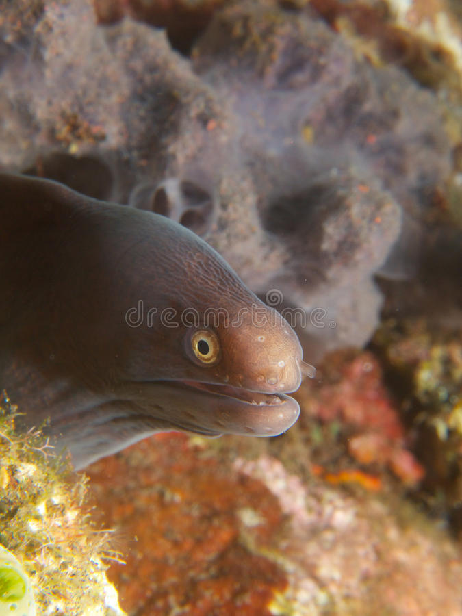 White Eyed Moray. A nice little white eyed moray eel looking out of a gap in the reef, Tulamben, Bali royalty free stock photos