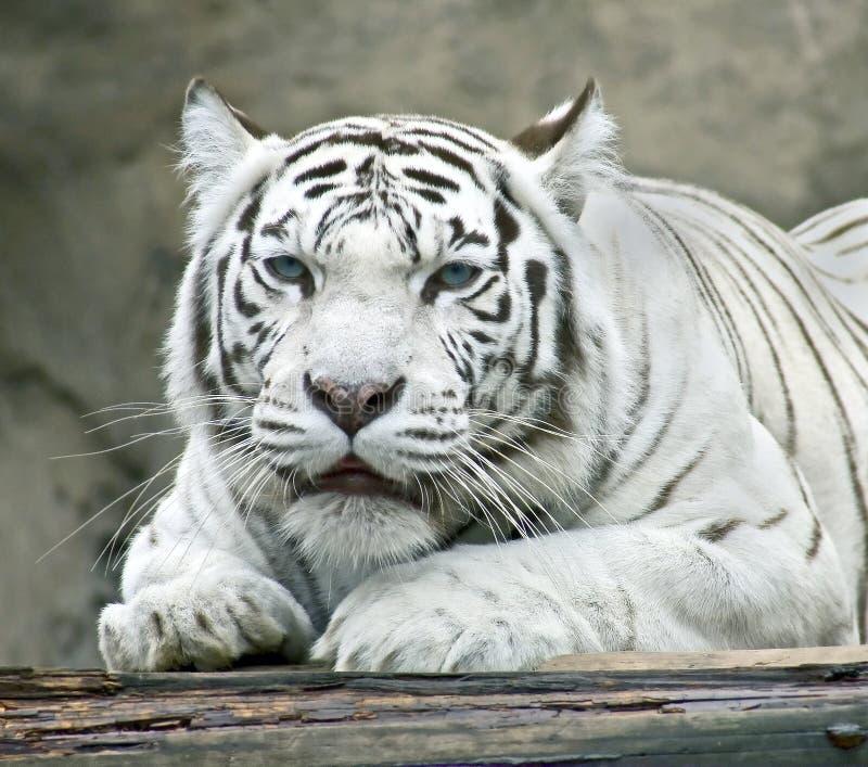 white för 4 tiger royaltyfri foto