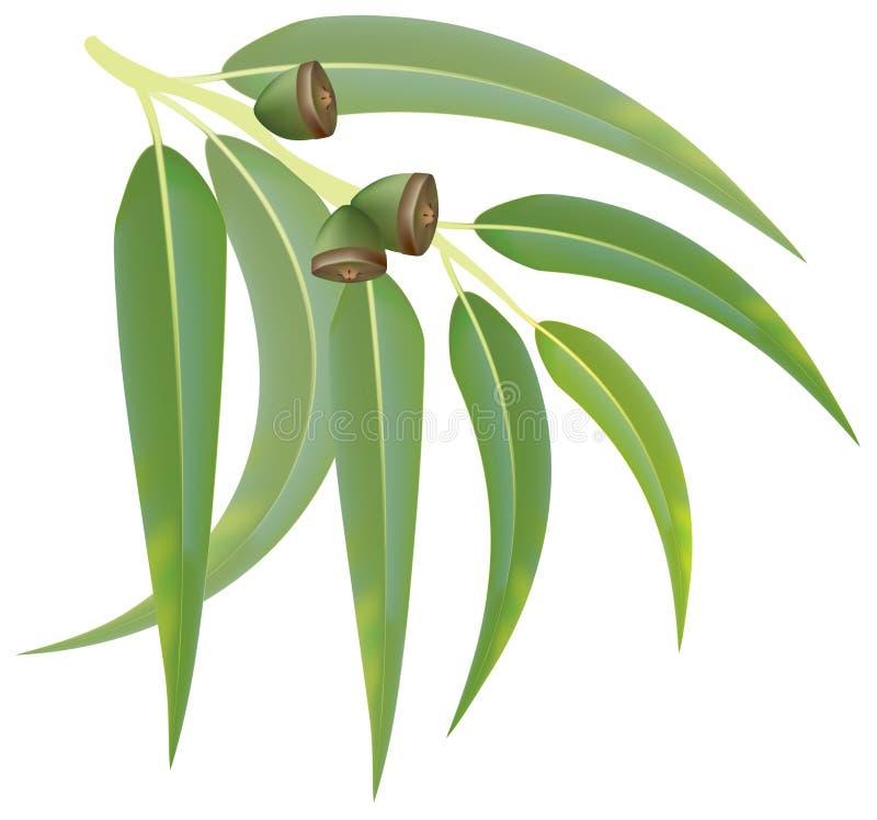 white för bakgrundsfilialeucalyptus royaltyfri illustrationer