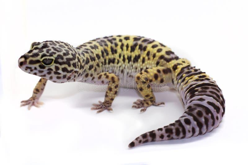 white för bakgrundsgeckoleopard fotografering för bildbyråer