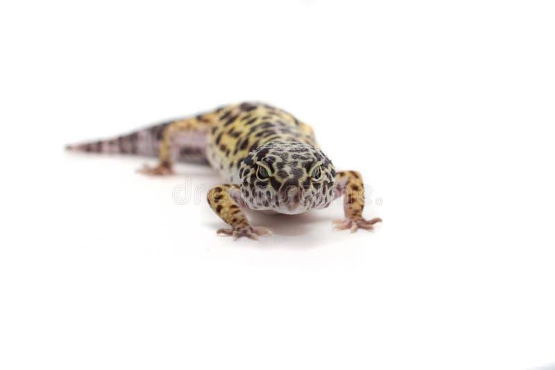 white för bakgrundsgeckoleopard royaltyfria foton