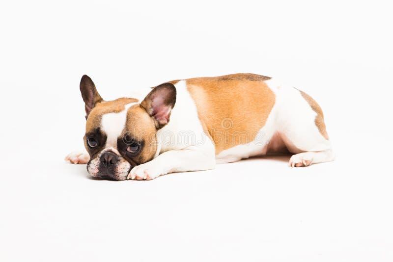 white för bakgrundshundstående De ledsna lögnerna och blickarna för fransk bulldogg arkivfoton