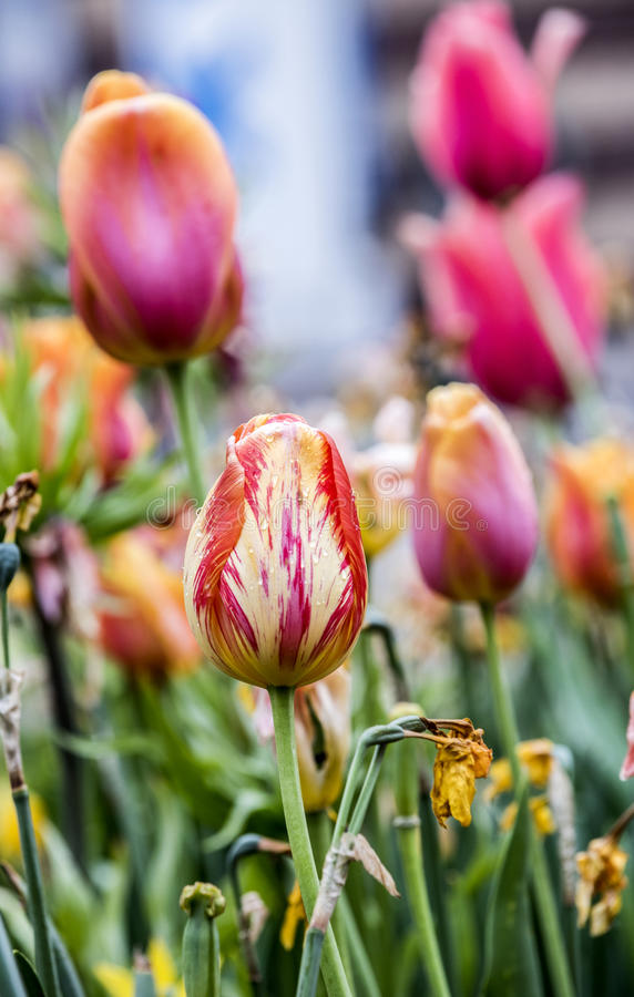 white för blommaisoleringstulpan royaltyfria bilder