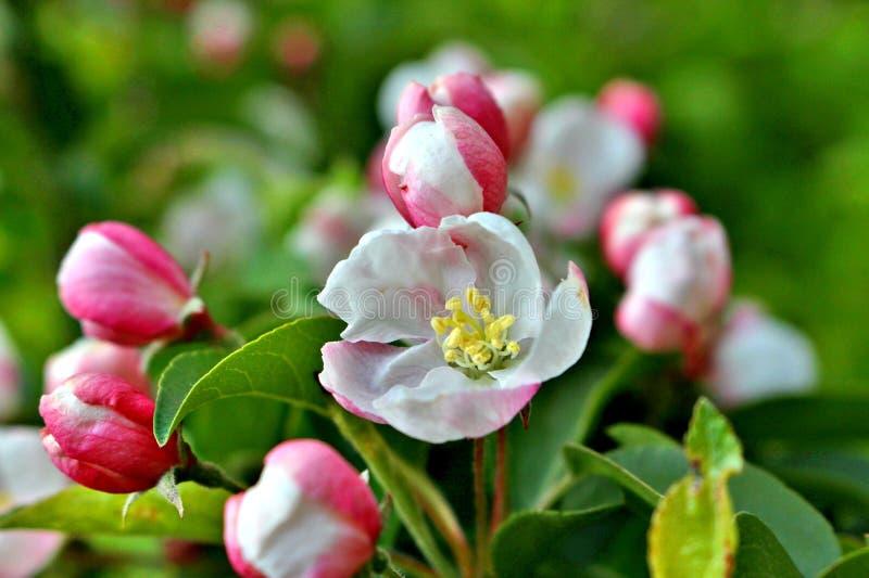 white för blommaskogfjäder royaltyfri fotografi