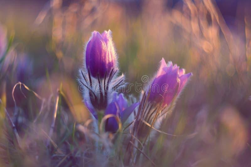 white för blommaskogfjäder Natur med ängen och solnedgång Säsongsbetonat begrepp för vår Beautifully blomstra den pasqueblomman o arkivfoton