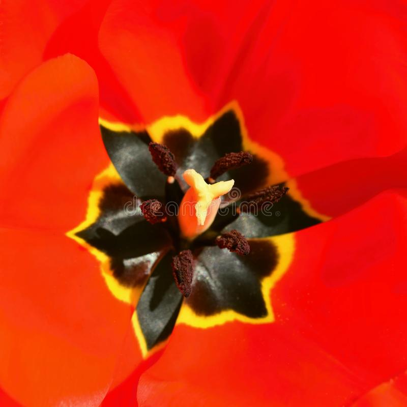 white för blommaskogfjäder röd skjuten tulpan för makro trädgårds- fjäder Tulipa arkivbild