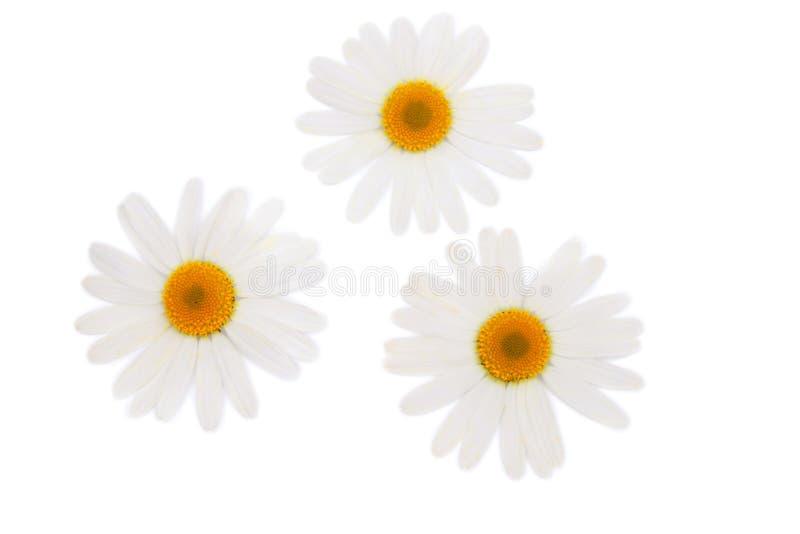 white för camomiles tre royaltyfri bild