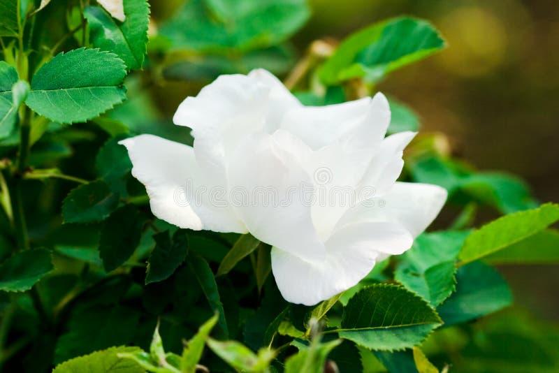 white för fältgreenrose royaltyfria foton