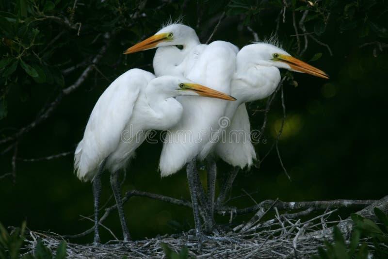 white för fågelungeegret utmärkt fotografering för bildbyråer