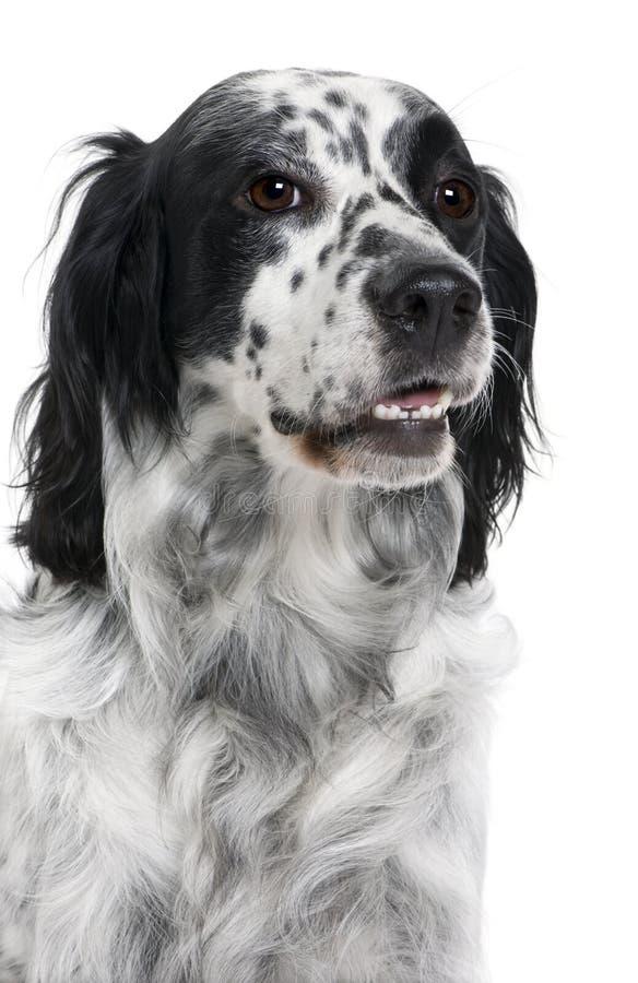 white för framdel för bakgrundsoäktinghund arkivbild