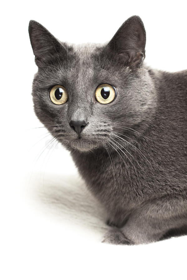 white för grå filt för katt sittande fotografering för bildbyråer