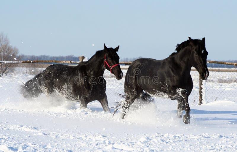 white för hästsnow två royaltyfri foto