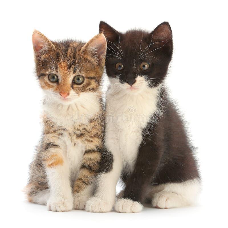 white för kattunge två fotografering för bildbyråer