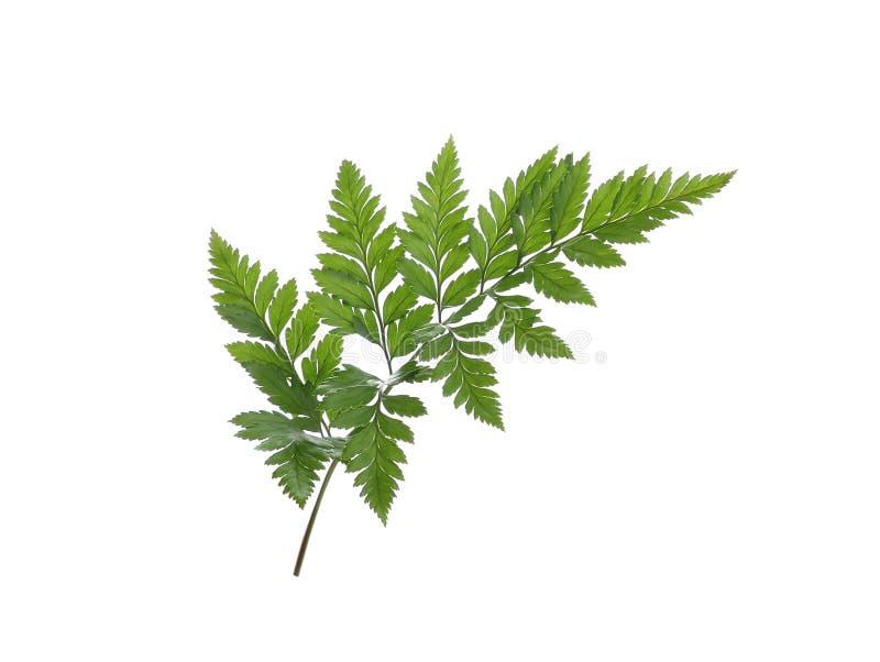 white för leaf för bakgrundsfern green isolerad fotografering för bildbyråer