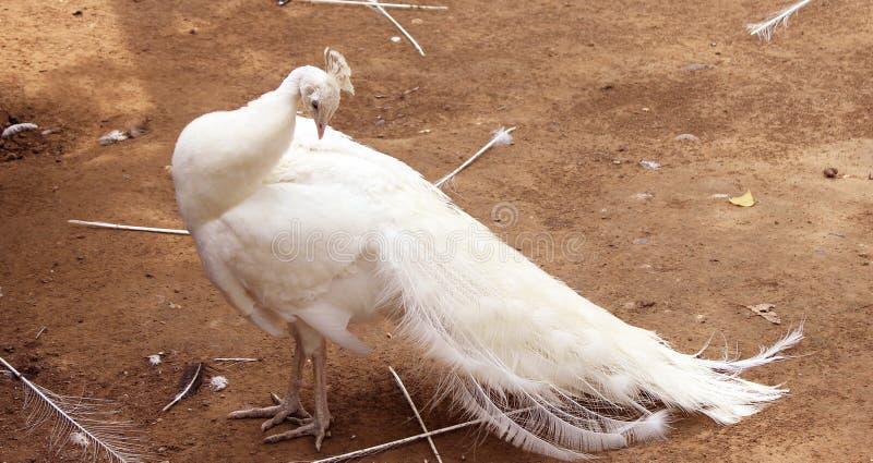 white för slags påfågel för fåglar sällan royaltyfria foton