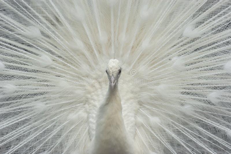 white för slags påfågel för fåglar sällan royaltyfria bilder