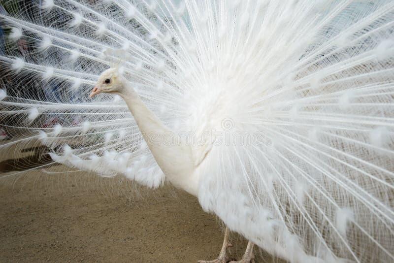 white för slags påfågel för fåglar sällan arkivfoton