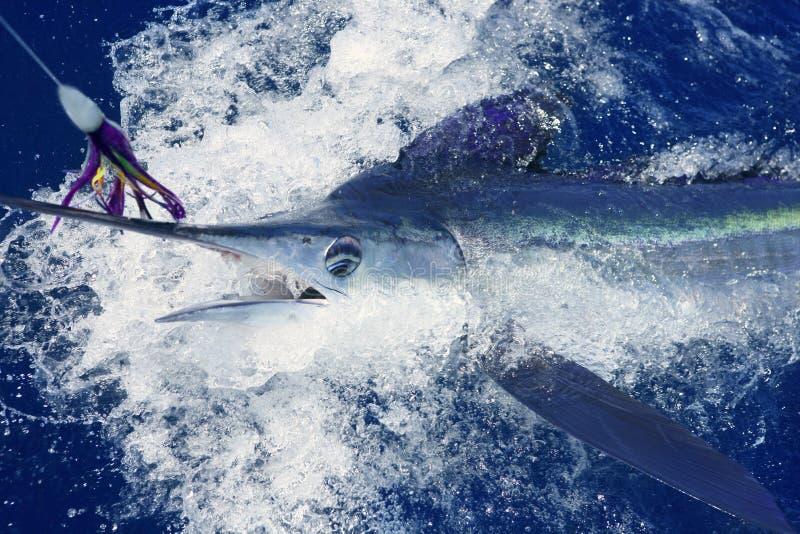 white för sport för härlig billfishfiskemarlin verklig arkivfoton
