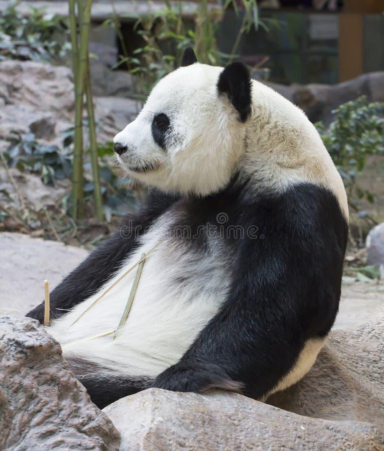 white för stil för panda för illustration för bakgrundsbjörntecknad film arkivbild