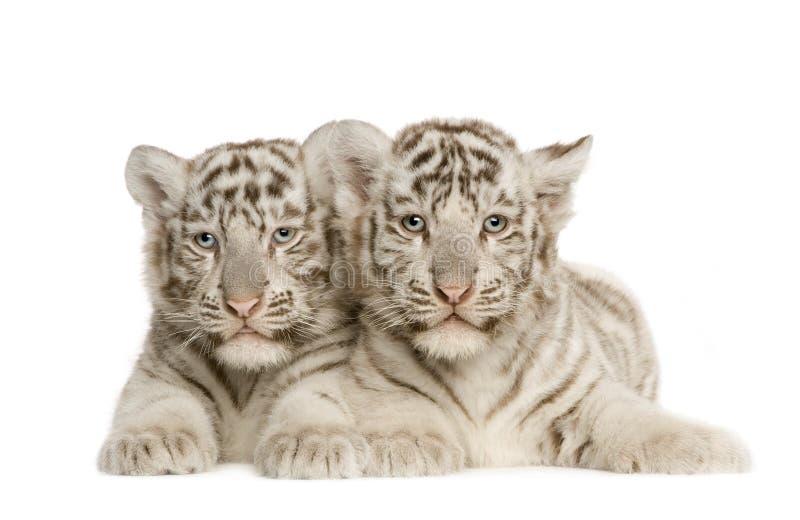 white för tiger för 2 gröngölingmånader fotografering för bildbyråer